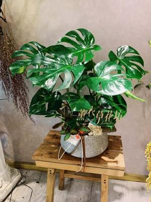 蔓綠絨盆栽108052515
