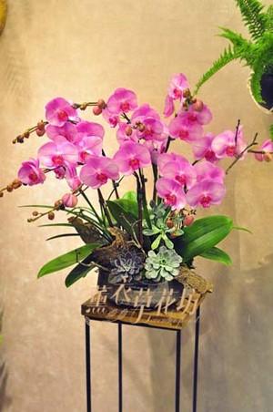 高雅蝴蝶蘭設計107092903
