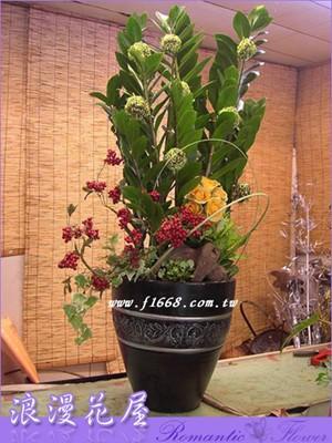 金錢樹盆栽3-42
