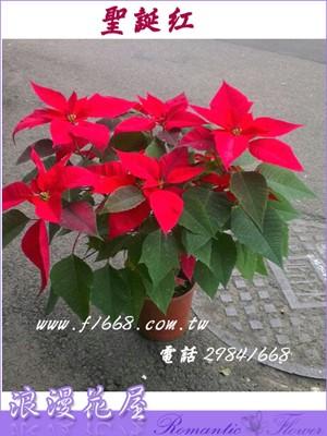 聖誕紅 3-106