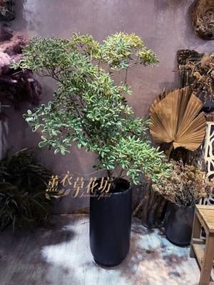 海棠盆栽110061705