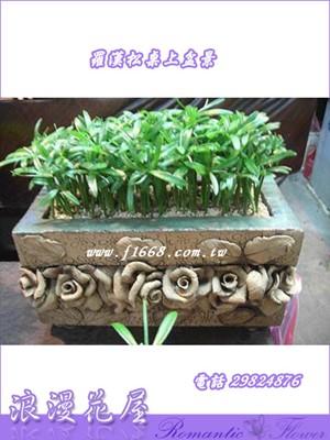 羅漢松桌上盆栽3-50