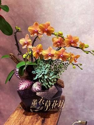 蝴蝶蘭/蘭花/107120309