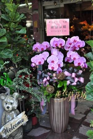 蝴蝶蘭/蘭花盆栽110022221