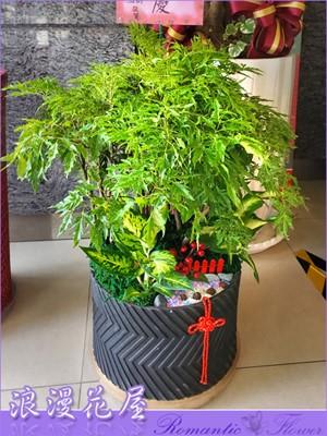 富貴樹盆栽