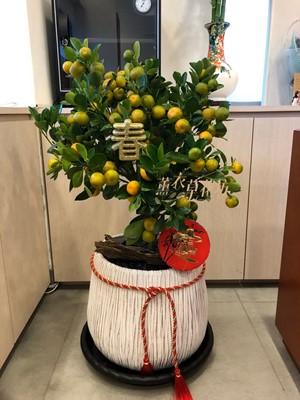 金桔樹盆栽10010628