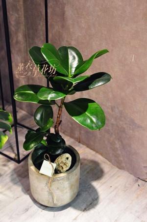 缺貨-橡膠樹盆栽108081603