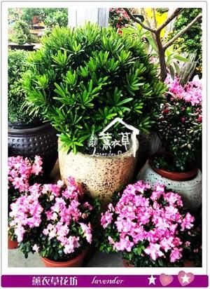 107033023羅漢松盆栽~球狀設計