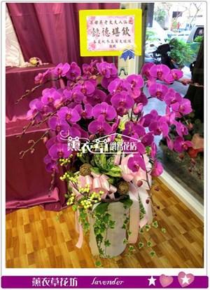 高雅蝴蝶蘭12朱y34465