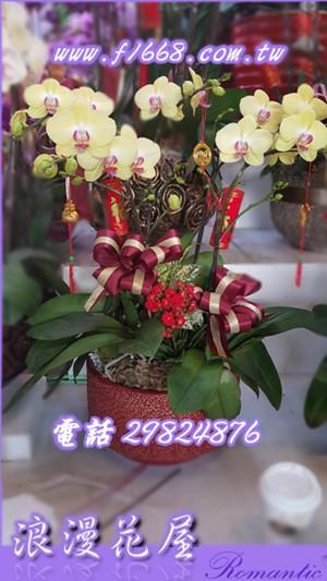 蝴蝶蘭 D100