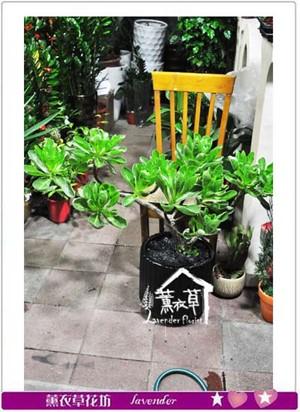 白水木盆栽c082508