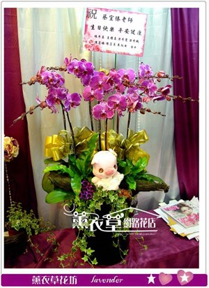 高雅蝴蝶蘭7朱y33595