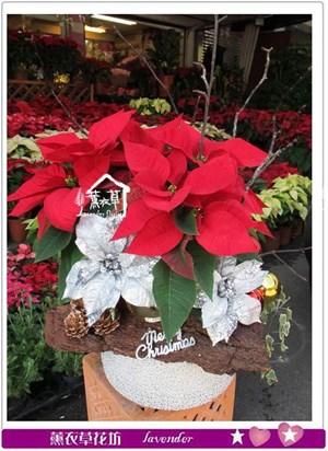聖誕紅設計款b121221