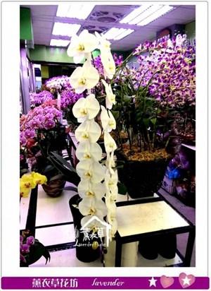 長梗冠軍品種~蝴蝶蘭c102405