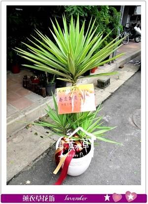 尤加利盆栽aa998