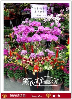 大型蝴蝶蘭10株y9597