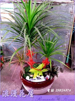 龍雪樹盆栽 3-85