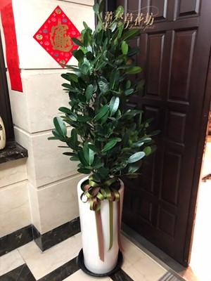 福木盆栽 108011001