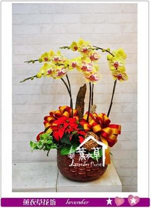 黃花系列蝴蝶蘭b102815