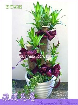 巴西樹盆栽 3-76