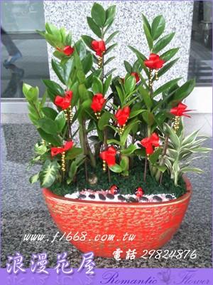 金錢樹盆栽 3-102