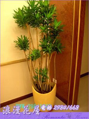 百合竹盆栽 3-15