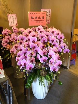 蝴蝶蘭/蘭花盆栽110031102