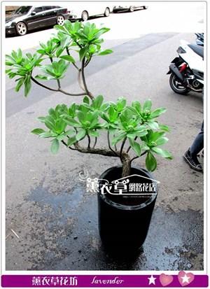 造型白水木盆栽y344690