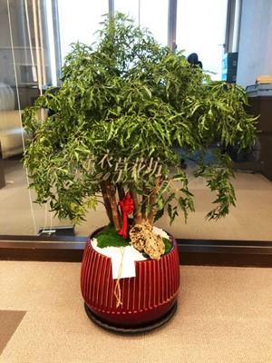 富貴樹a102137