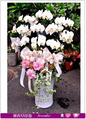 高雅蝴蝶蘭10朱c101307