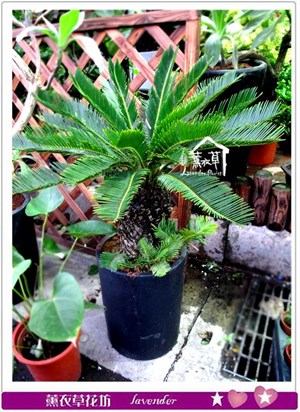 鐵樹盆栽c032012