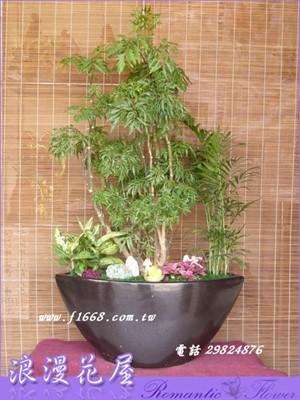 富貴樹盆栽 3-63