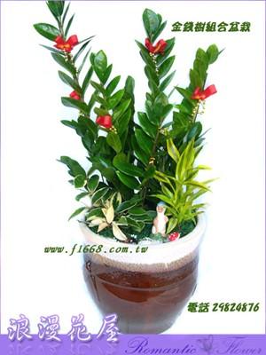 金錢樹盆栽 3-80