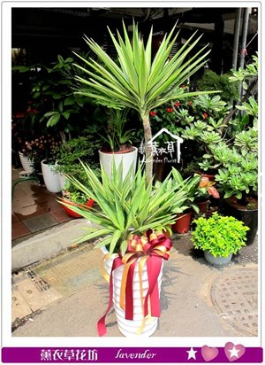 尤加利盆栽c040719